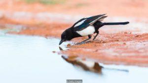 Black-billed Magpie to the water - Saragossa Aragon Spain -  - Los Monegros -